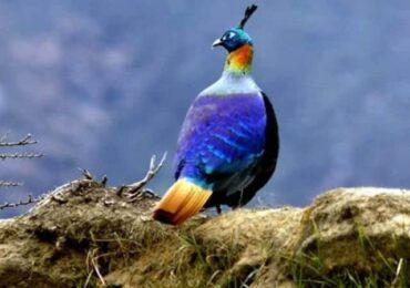 राष्ट्रिय पक्षी डाँफेको संरक्षणमा समुदाय
