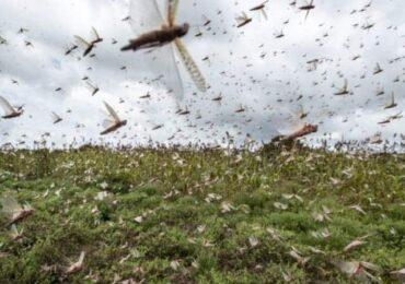 सलहले बाली नष्ट गरेपछि किसान चिन्तित